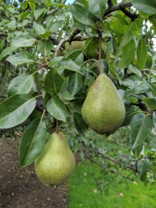 The common pear tree, Pyrus communis, is a deciduous tree that can grow up to 40-feet tall or even more. Some of the pear trees in this area are full of delicious fruits, but a couple are quite bare, not thriving, and need to come down.