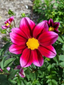 This dahlia is named 'Bashful' with its dark burgundy petals, hot pink tips, and golden stamens in the center of the flower. The three-inch flower blooms on a plant that grows to two-and-a-half feet by the end of the season. This is a great dahlia for bedding, containers, and cut flowers.