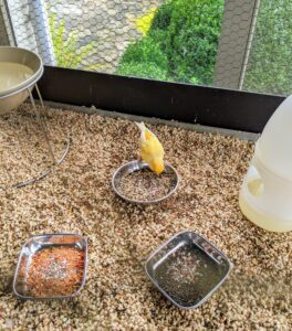 Once everything is cleaned, a layer of fresh cob bedding is placed on the bottom tray. And then the filled food bowls are returned to their various locations in the cage. The birds rush to them right away.