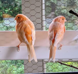 These two seem to be perched at a favorite spot - along the edge of one of the feeding throughs.