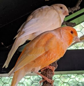 This process is done while the birds are in the cage – they love to watch from their natural wooden perches. Canaries also love to see people, and will often recognize regular visitors. This is part of their daily routine, so they are not scared – many will continue to sing during the cleaning process.
