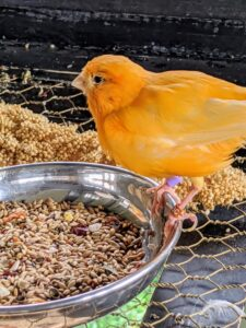 And this bright orange canary is on a large dish of seed.