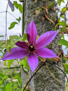 "There was also a single clematis bloom. Clematis is a genus of about 300-species within the buttercup family Ranunculaceae. The name Clematis comes from the Greek word ""klematis,"" meaning vine."