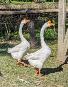 Last week, I got this pair of Chinese geese from Snug Harbor Farm in Kennebunk, Maine. These geese most likely descended from the swan goose in Asia, though over time developed different physical characteristics, such as longer necks and more compact bodies.