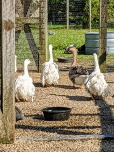These geese are good runners. Here they are going across their enclosure to their pool. My gaggle of geese is fun, friendly, personable and protective. I know my new Chinese Geese will thrive here at Cantitoe Corners.