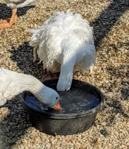 All geese love water bowls where they can dip their full bills to clean their noses and beaks.