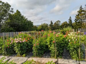 This year, we planted eight and a half long rows of dahlias in this space.