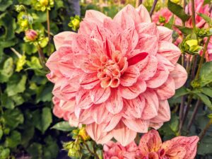 Dahlias thrive in rich, well-drained soil. The pH level should be 6.5 to 7.0 and slightly acidic.