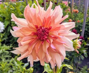 The Dahlia is named after the Swedish 18th century botanist Anders Dahl, who originally declared the flower a vegetable, as the tubers are edible.