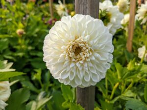 Dahlias benefit from a low-nitrogen liquid fertilizer such as a 5-10-10 or 10-20-20. Fertilize after sprouting and then every three to four weeks from mid-summer until early autumn – just don't overfertilize, especially with nitrogen. Doing this could cause small blooms, weak tubers, or even rot.