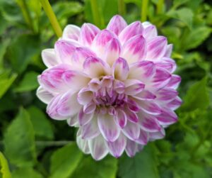 Dahlia 'Mikayla Miranda' is a seven-inch white and lavender-pink bloom on a sturdy three-and-a-half foot tall garden variety type plant - a floral designer favorite.