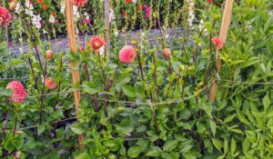 Once she has gone down one side of the whole row, she returns up the other side of the row in the same way - looping the twine around each stake. Here are some of the dahlias supported within the twine loops.