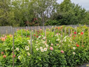 My dahlia garden at Skylands is quite large with hundreds of different plants in a variety of colors and forms. In fact, dahlias can be found in nearly every color except blue.