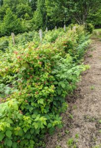 Here is what these raspberry bushes looked like in July - full of sweet berries. Summer-bearing raspberry bushes produce one crop each season. The fruits typically start ripening in late June into July with a crop that lasts about one month.