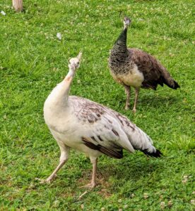 These peahens are very curious and want to know what is going on in their yard.