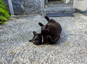 Here's Blackie rolling on the gravel outside the greenhouse.