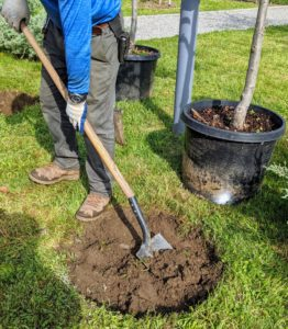 And then it was time to start digging the holes. The trees will be spaced just under seven-feet apart. This will allow them room as they grow, but still be close enough for a proper espalier. For an espalier, they can grow between four and eight feet apart.