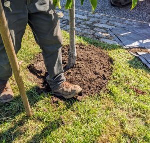 Chhiring gently steps around the root ball and soil to ensure there aren't any air pockets.