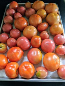 These tomatoes are separated according to color – here are some of the bright red tomatoes.
