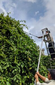 Phurba prunes the uppermost branches using a 12 foot tripod orchard ladder to get up as high as he can. Domi keeps the ladder secure from the ground.
