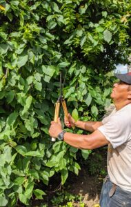 """I prefer all my hornbeams be pruned by hand. The crew uses secateurs and Japanese shears. It is a slower process, but provides a more detailed and prettier finish. One of my important rules is to always """"use the right tool for the right job."""""""