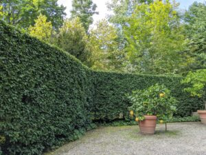 The top, front, and back are all pruned. Here, it is easy to see how much better the front face of the hedge looks after a good, thorough pruning. In front of the hedge is my Ponderosa lemon tree. Hard to see here, but the lemons are huge. See them on my Instagram page @MarthaStewart48.