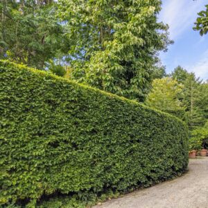 Behind my Summer House and Winter House is this long European hornbeam hedge. Because it is planted on a gradual slope, it needs to be pruned using a step method.