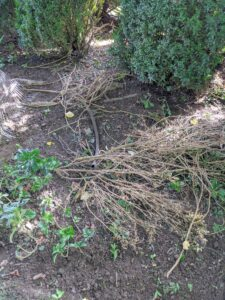 The crew also removes any dead branches from the inside of the shrub. This will allow for better air circulation within the plant.