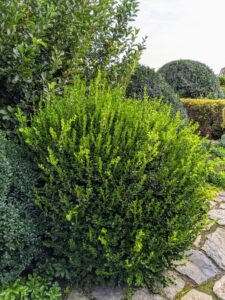 Here is one of the boxwood shrubs before it is trimmed - look at all the growth.