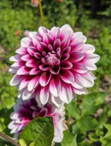 Dahlia 'Ryan C' is a rich purple with white tips, and four to six inch blooms. It's great for use in floral design and bouquets. In bi-color varieties, some blooms my present as bi-color and some may be solid purple.
