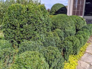 The boxwood is also treated monthly with TopBuxus Health Mix, which prevents the fungal disease called box blight and provides the plants with rich nutrients that restore new green leaves and strong branch growth.