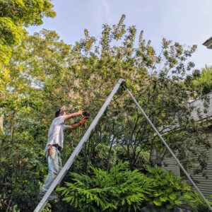 Meanwhile, Pasang works on pruning the smoke bush, Cotinus. For smaller branches, Pasang uses his trusted Okastune pruners. Cotinus requires little or no pruning which makes it easy to grow. A light pruning can be done if needed just to remove diseased, spindly or crossing branches.