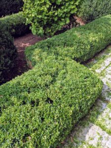 Here is the matching section of the hedge on the opposite side all trimmed and shaped - what a difference!