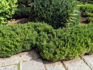 This section of boxwood lining the footpath is waiting to be trimmed.