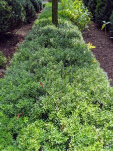 All the boxwood at my Bedford, New York farm has grown wonderfully this summer. All the hedges are so lush and green, and now they need a good trimming. This is the low hedge growing in my sunken Summer House garden - waiting its turn for a cut.