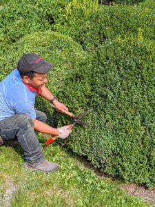 Next, Phurba sculpts the shrubs by hand. Twice a year, we groom and prune the boxwood. This is always done with hand shears to give them a more clean and manicured appearance.