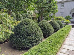 The result - well-manicured specimens. I love the tapered tops. Boxwood is naturally a round or oval shaped shrub that can reach up to 15 feet in height.