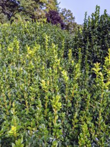 Here is one of the boxwood shrubs before it is trimmed – look at all the growth.
