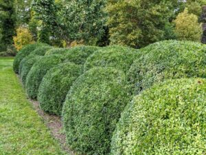 This beautiful boxwood hedge completely surrounds the peony garden on four sides. I designed it to grow in two layers – they've matured so nicely over the years. Boxwood is naturally a round or oval shaped shrub that can reach up to 15 feet in height.