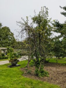 Here are the two pear trees that I instructed the crew remove. They are located in the grove behind my gym building and across one end of my long clematis pergola. It is one of the first areas visitors see when they arrive at the farm.