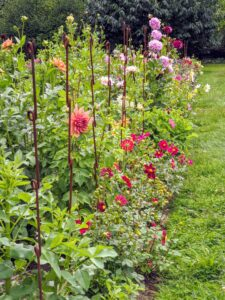 I am so pleased with how these dahlias are growing. Dahlias thrive in rich, well-drained soil with a pH level of 6.5 to 7.0 and slightly acidic.