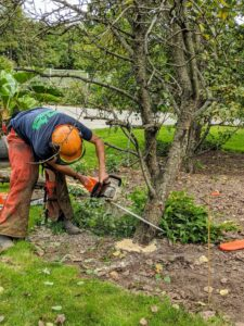Once the clematis is off the tree, Brian uses a STIHL chainsaw to make the first cut. Whenever using a chainsaw, always be sure it has a sharp chain, a full tank of oil and gas, and that the operator is wearing the proper safety gear. Brian is wearing apron chaps, and a hard hat with a face shield and ear protectors.