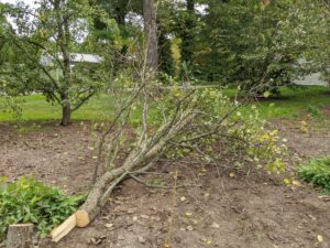 The second tree is also down within minutes. Common pear trees have broad crowns, straight trunks, and arching branches. Here is the tree just after it has fallen to the ground. Fortunately, it is a calm day with no winds, so the tree falls in the perfect location.