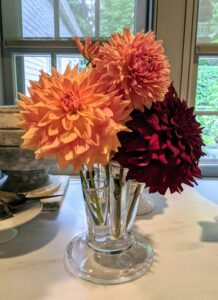 To prevent wilting, cut only in the early morning or late afternoon. And only cut them after they open to mature size – dahlias will not open after cutting.