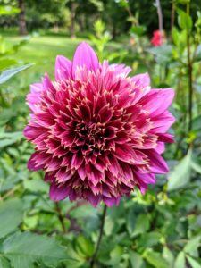 Dahlias are often grown for their long-lasting cut flowers. There are about 30 species of dahlias and more than 20-thousand cultivars.