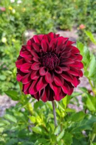 And here is one in dark burgundy. Dahlias come in almost every color except true blue.
