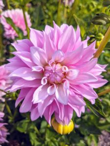 Dahlia 'Sweet Tiamo' has large, roughly four-inch lavender-pink blossoms, creamy centers atop sturdy stems.