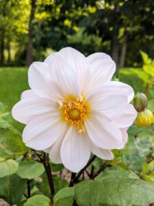 This dahlia is simply all white with a yellow center - a lovely and perfectly formed bloom.