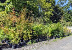 I keep thousands of potted young trees in this area behind my stable, where they can be closely monitored and well-watered. Every few months, we take stock of the inventory, and do some maintenance work to these saplings - these need to be weeded, fed and re-organized into neat and tidy rows.