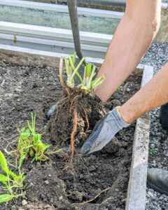 Sorrel can be grown as a cool-season perennial, so we decided to save the plants. Brian digs up each plant, keeping as much of the root ball and surrounding soil intact to minimize any transplanting stress. Here, one can see the plant's roots.
